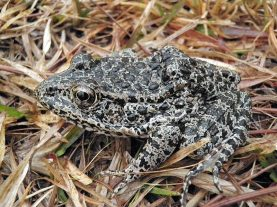 The Dusky Goipher Frog