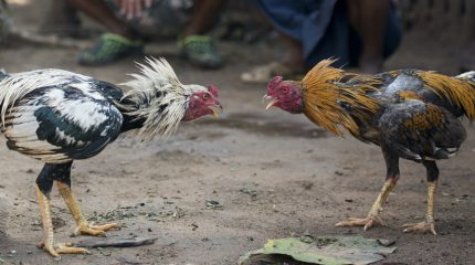 two roosters facing each other on dirt ground